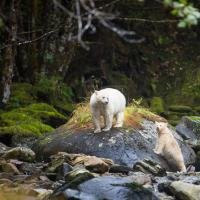 Spirit Bear Lodge, Grizzly and Spirit Bear Viewing, 4 Days