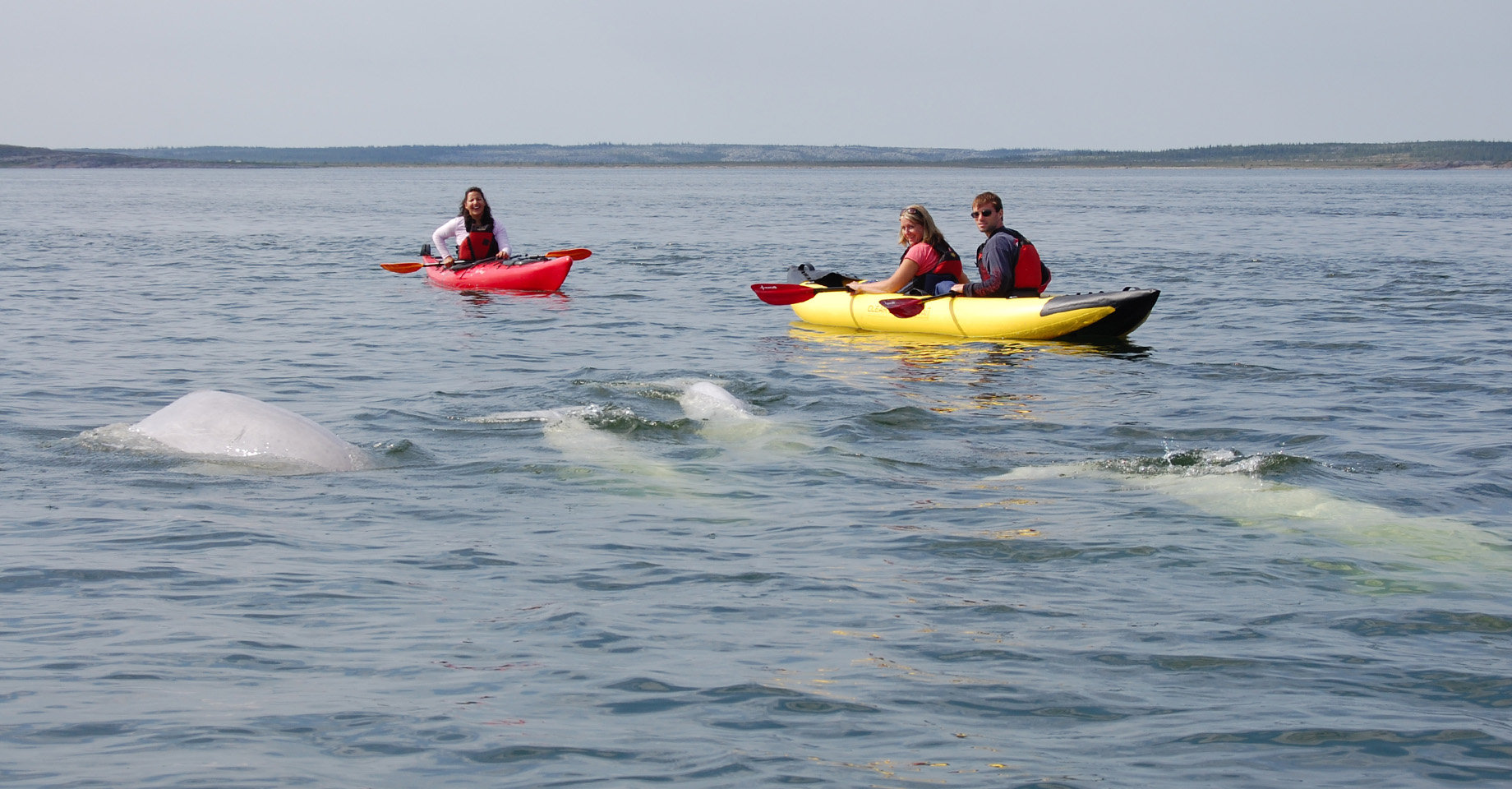 People sitting in ocean kayaks with a pod of beluga whales swimming past
