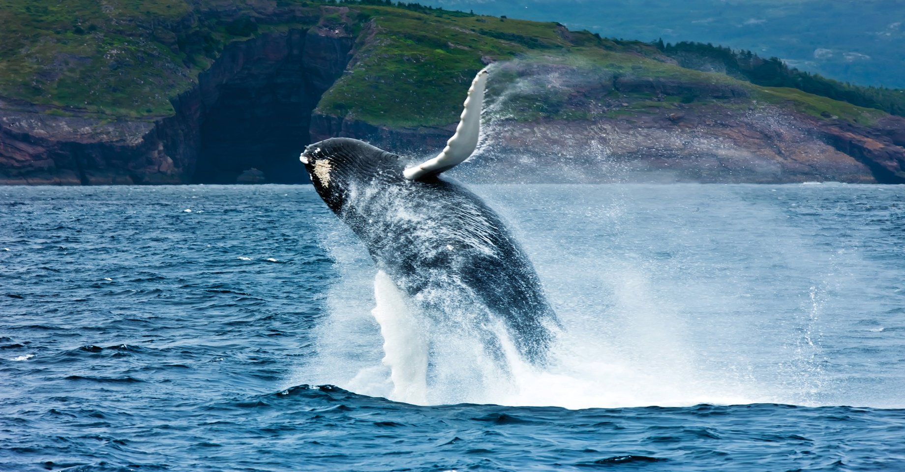 Breaching Whale in Newfoundland