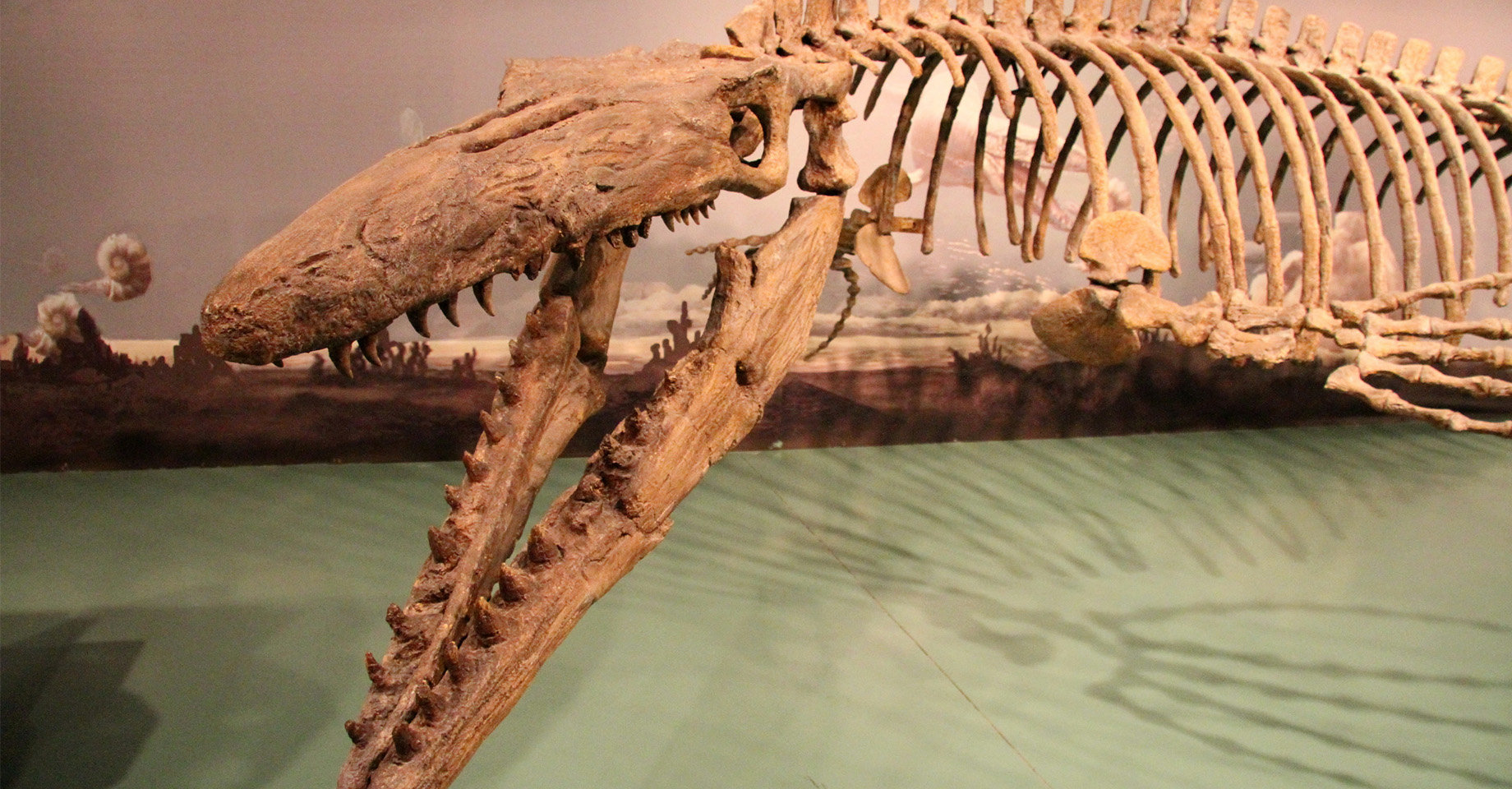 A fossil display of a large amphibious dinosaur