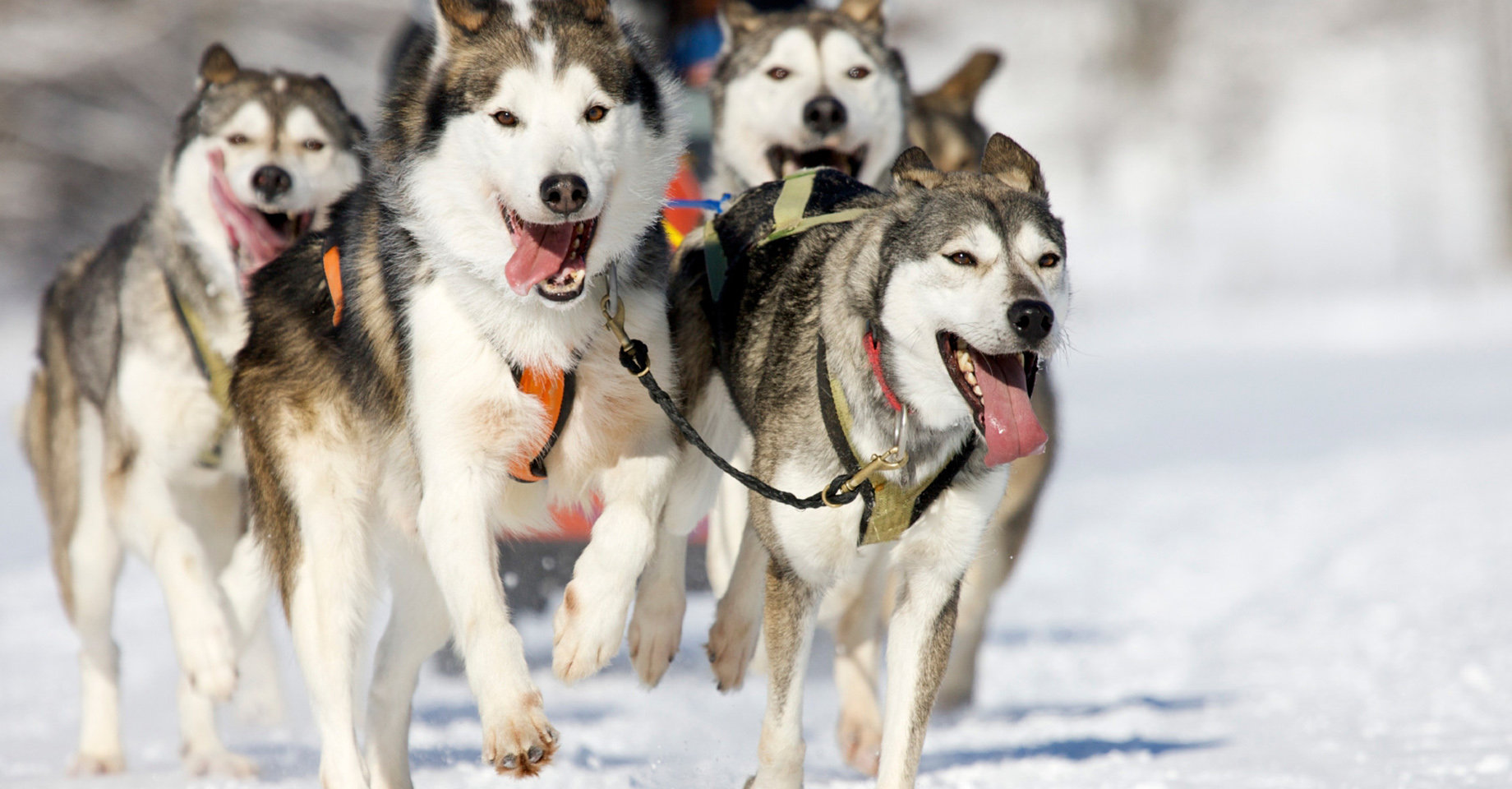 A team of huskies pulling a sled