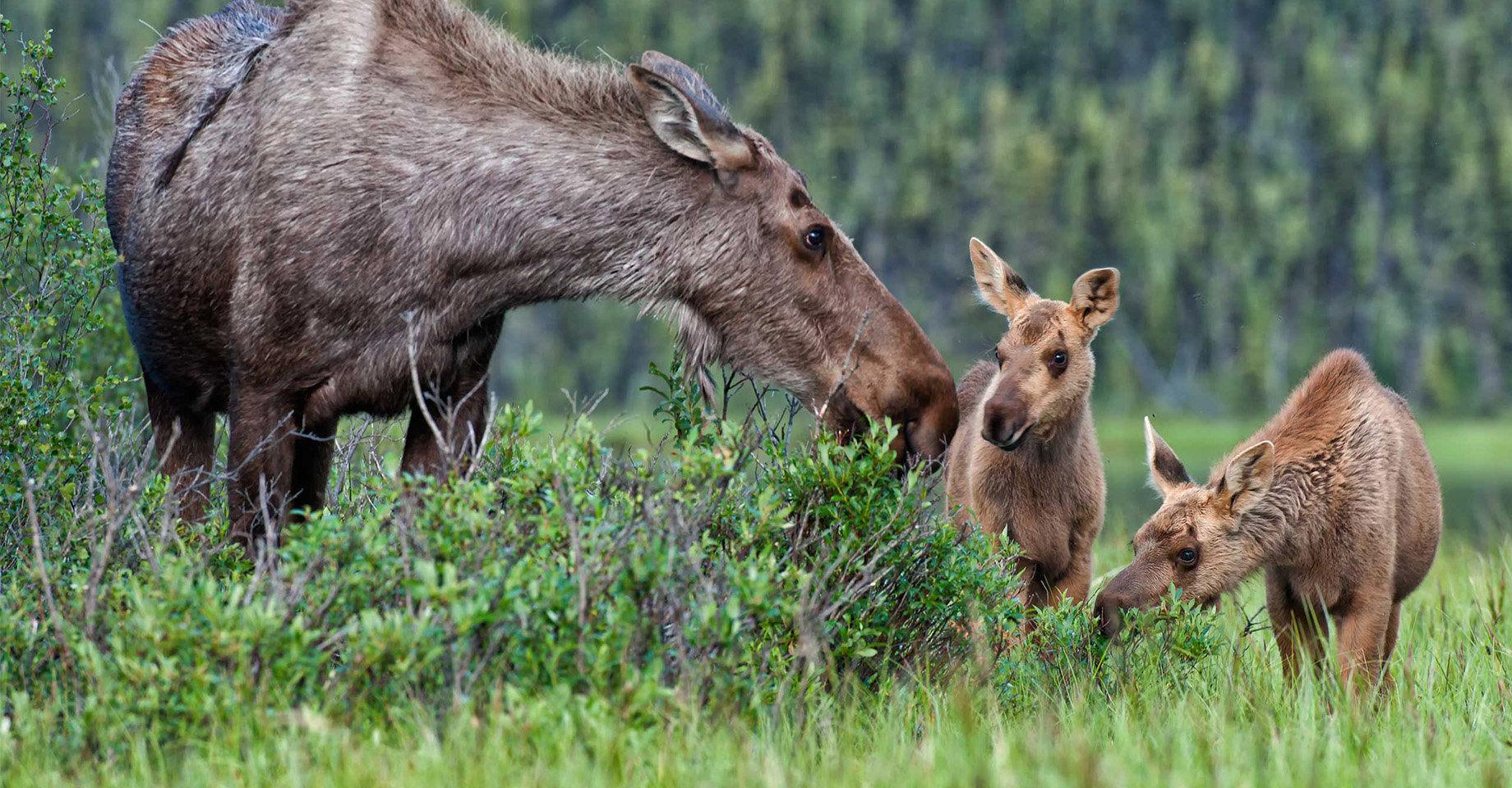 An adult moose with two young calves.