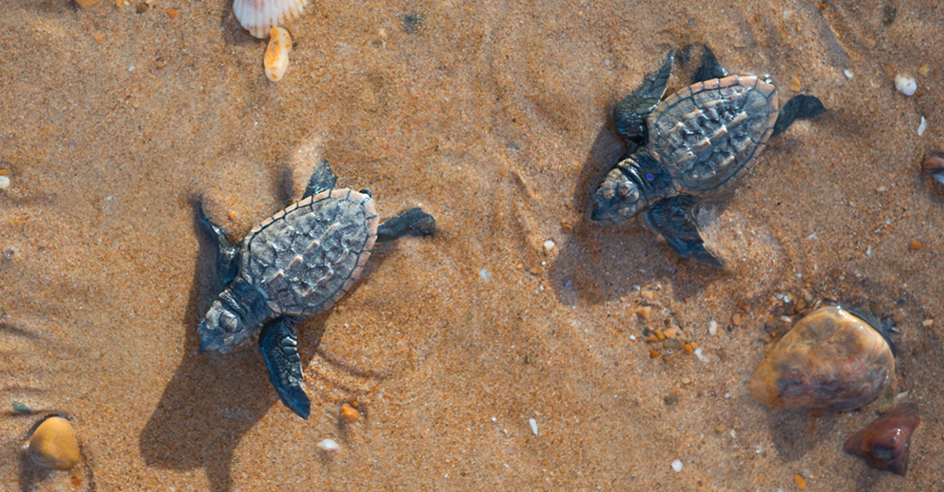 Baby turtles just hatched, in Mon Repos