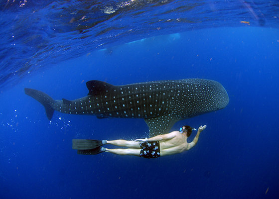 Whale Shark, Cancun