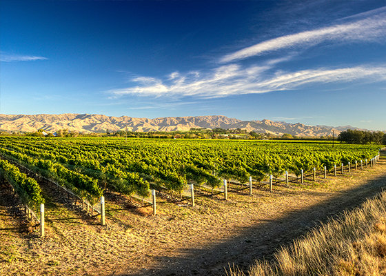 Vinyards in the Marlborough region