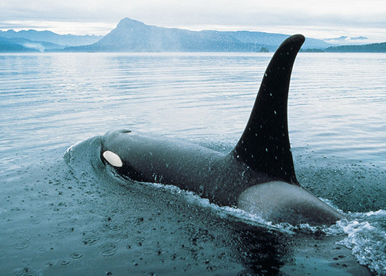 Orca swimming off Vancouver Island